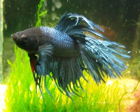 Betta splendens var. Crowntail